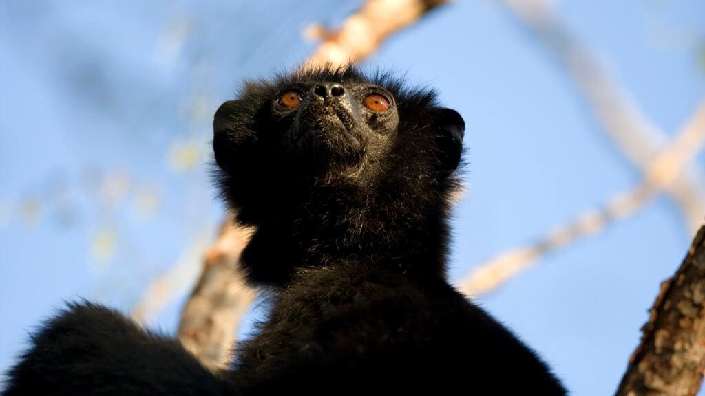 Perrier's sifaka black lemur