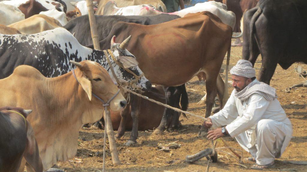 Animal Market, Sindh, Pakistan