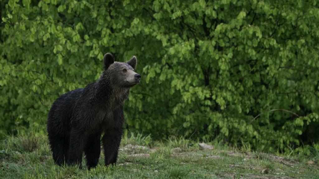 Buena, Wildlife, Brown Bear, Carpathian Mountains, Romania