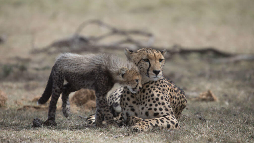 Cheetah and cub, Masai Mara, Kenya