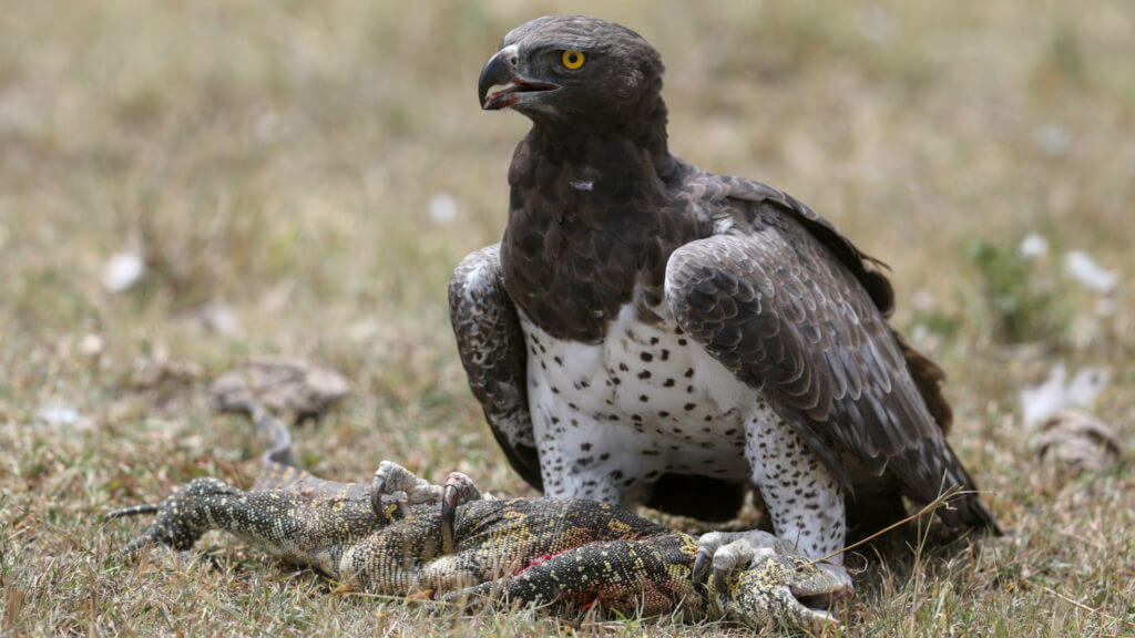 Martial eagle with monitor lizard, Masai Mara, Kenya