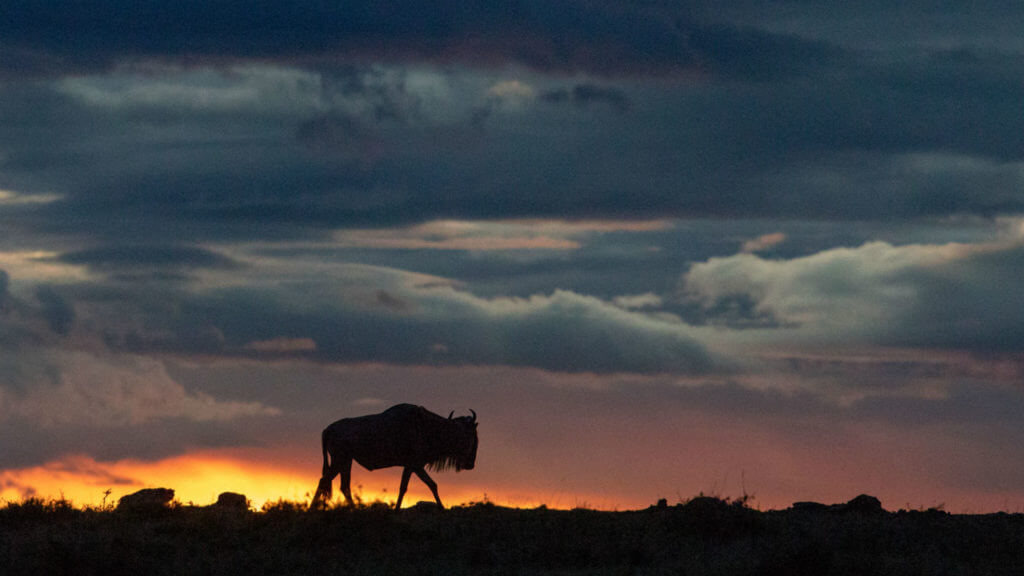 Wildebeest at sunset, Masai Mara, Kenya