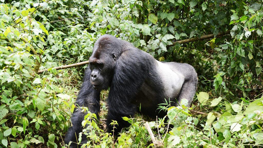 Client Nicky Dunnington Jefferson rear of gorilla