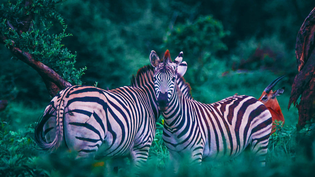 Two zebras in a forest
