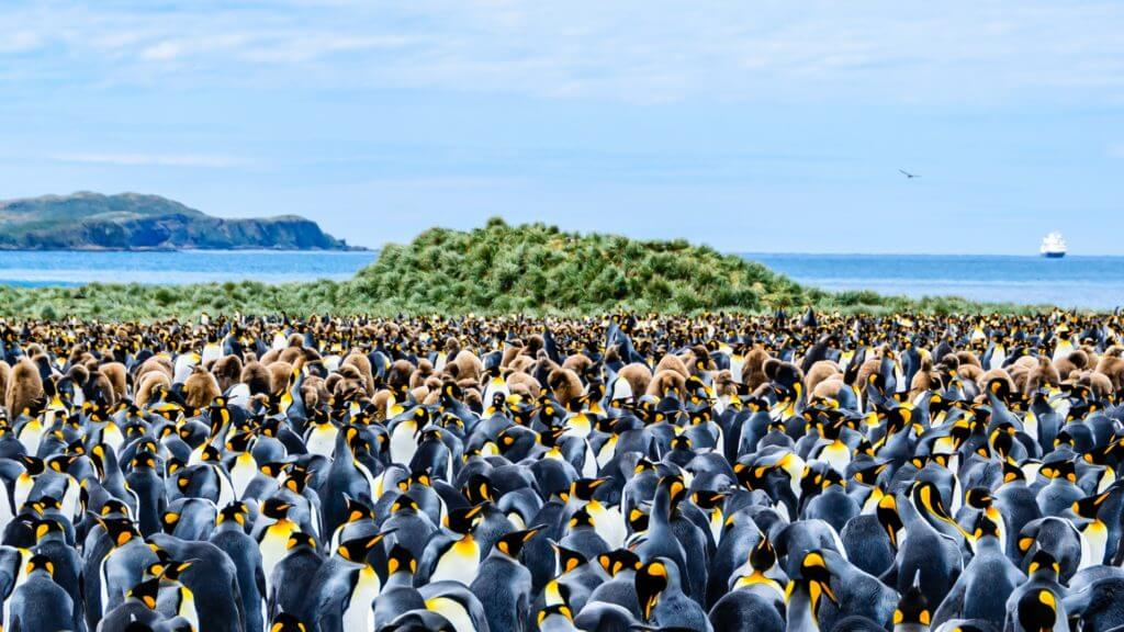A huge colony of adult king penguins and their chicks against a backdrop of green foliage and blue sea on South Georgia Island in Antarctica