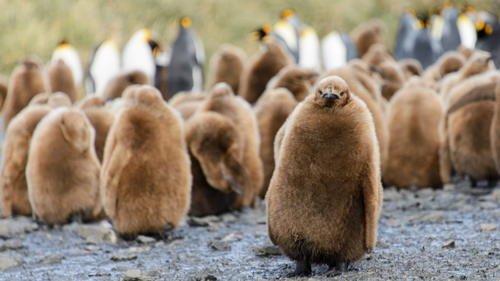 King Penguin Chick, Antarctica