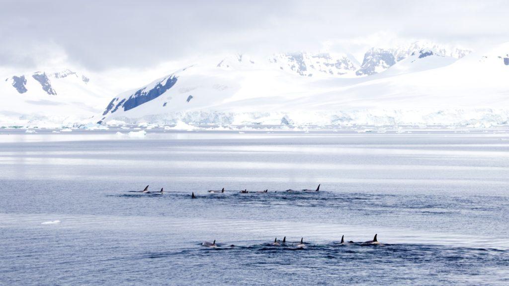 Pod of Orca Whales, Gerlache Strait, Antarctica