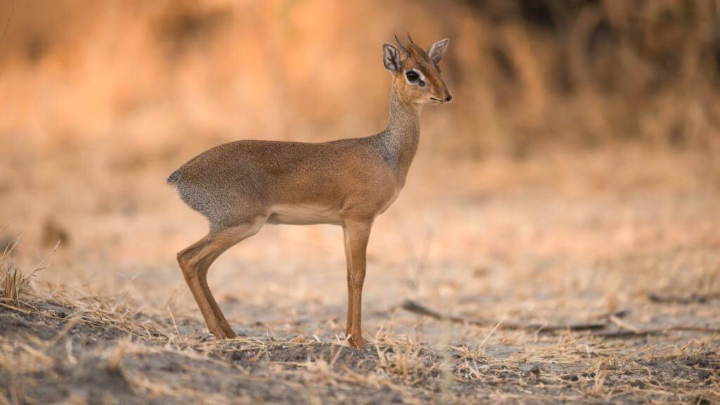 Dik-Dik in Serengeti National Park, Tanzania