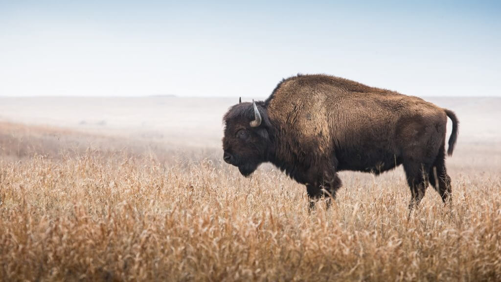 American bison standing in tall grass prairie with light fog in background