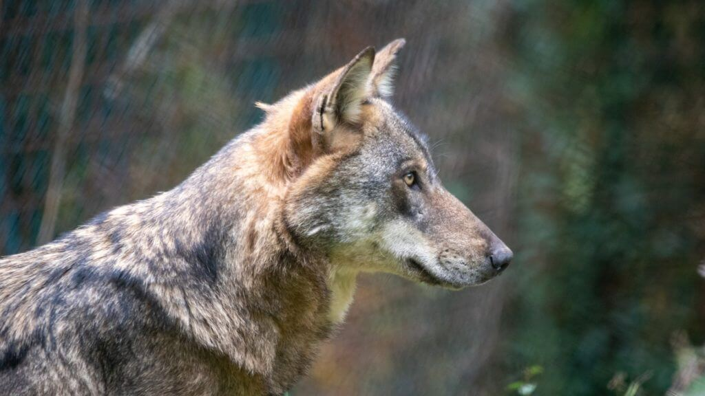 Side profile of a wolf.