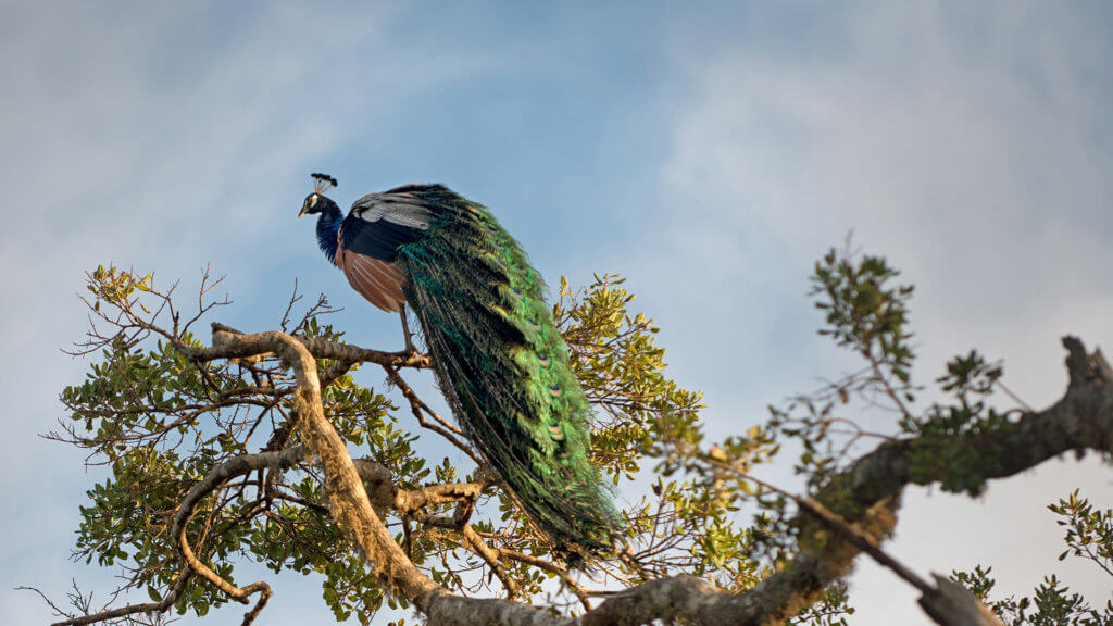 Beautiful bright peacock sitting on a tree.
