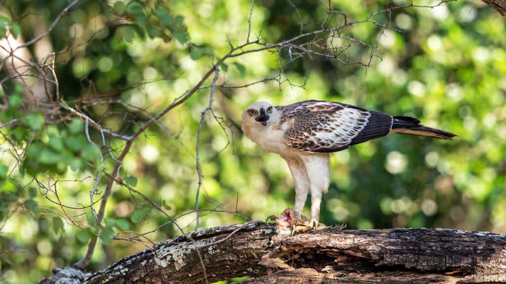 Crested eagle eagle preying in Sri Lanka National Park.