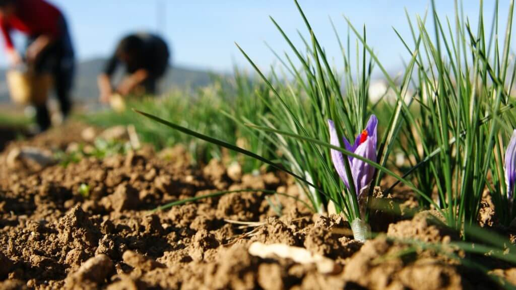 Ground level view of purple crocus in soil with out of focus workers planting in background.