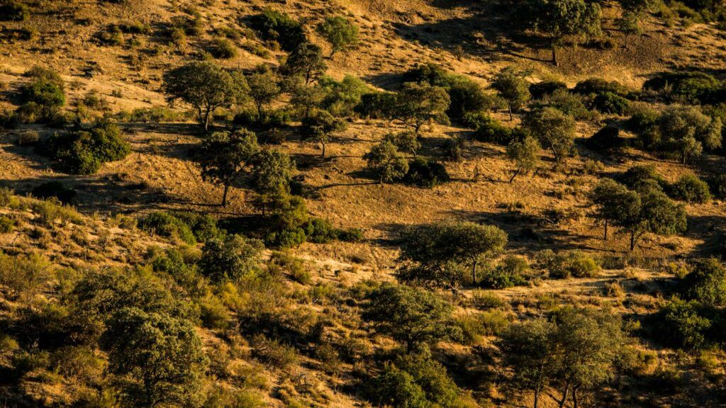 Yellow rolling hillside with green trees.