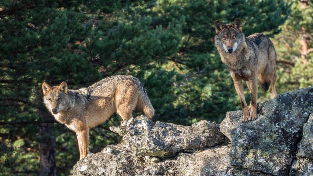 Two wolves stood on rock looking towards camera with woodland behind.