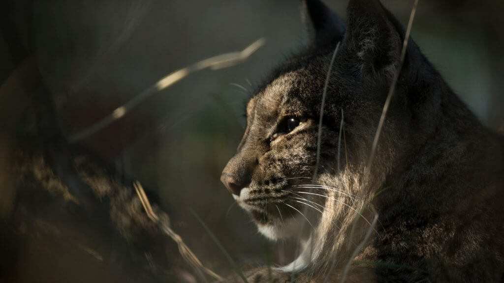 Close up side profile of lynx face with sun shining on it.