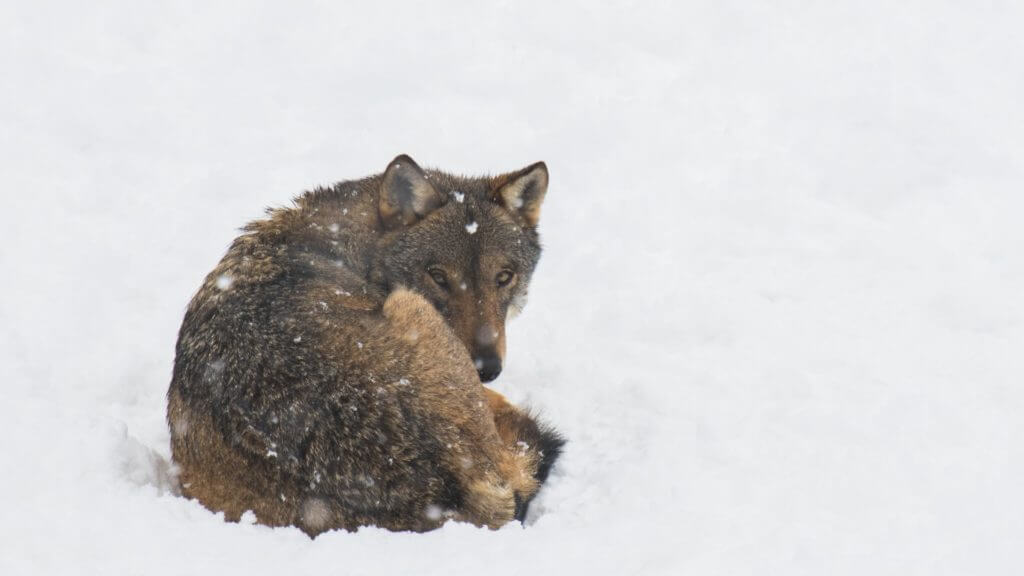 Lone wolf curled up in snow.
