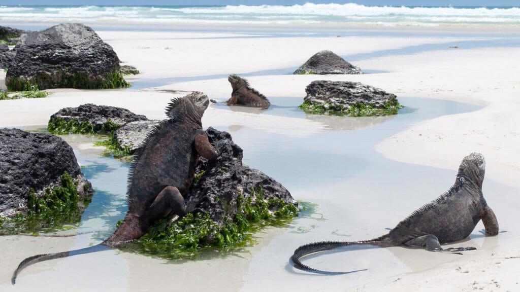 Galapagos marine iguanas on a beach, Tortuga Bay, on Santa Cruz Island.