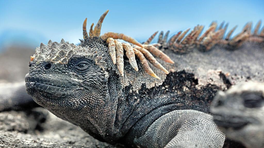 Marine iguana lying in the sun on rock.