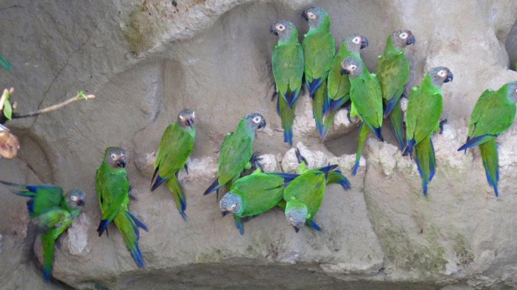 Parrot Clay Lick at Yasuni National Park