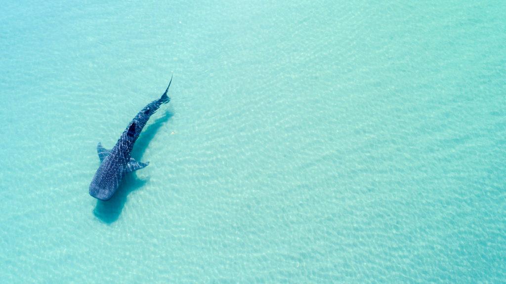 Whale Shark, La Paz, Baja California, Mexico