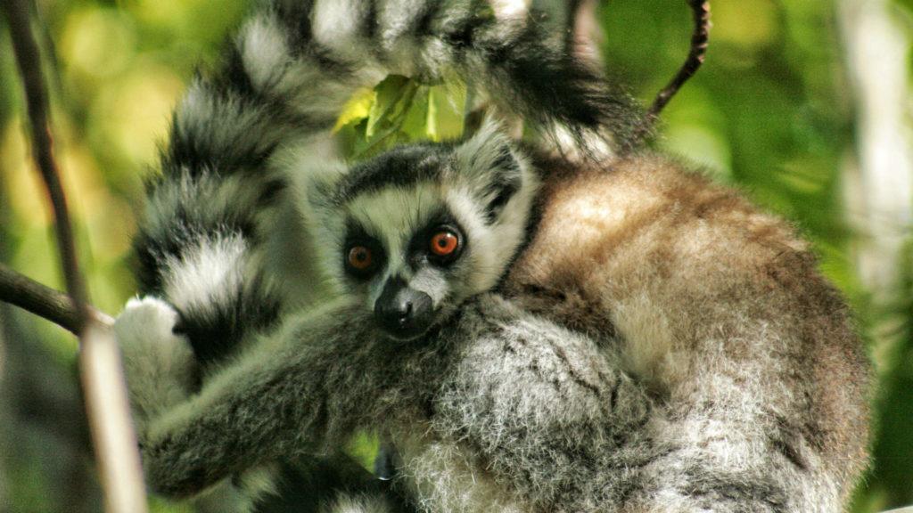 Ring-tailed lemur, Madagascar