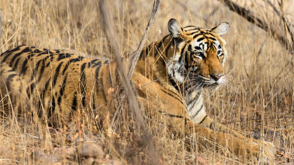 Wild Bengal tiger, India