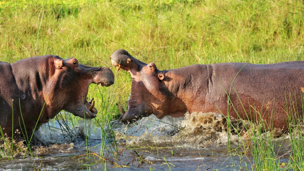 HIppos fighting, Liwonde National Park, Malawi