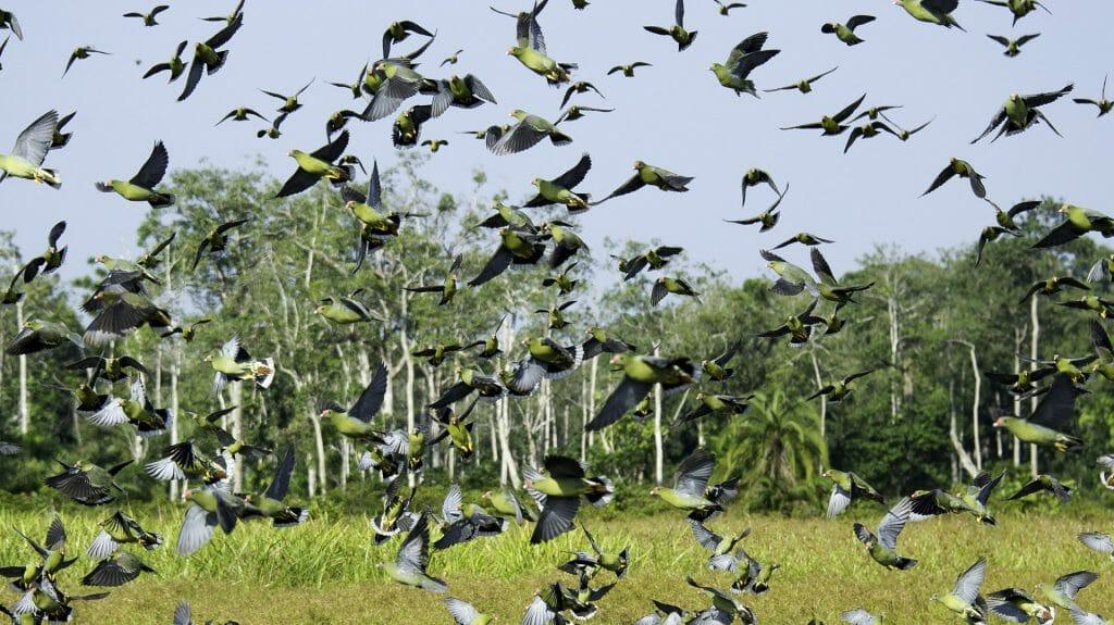 African Green Pigeon, Lango Bai, Odzala, Rep of Congo