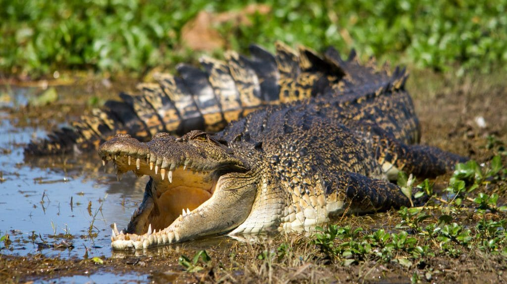 Australian Saltwater Crocodile, The Kimberley, Western Australia