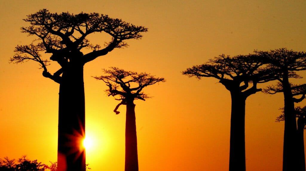Avenue of Baobabs, Morondava, Madagascar