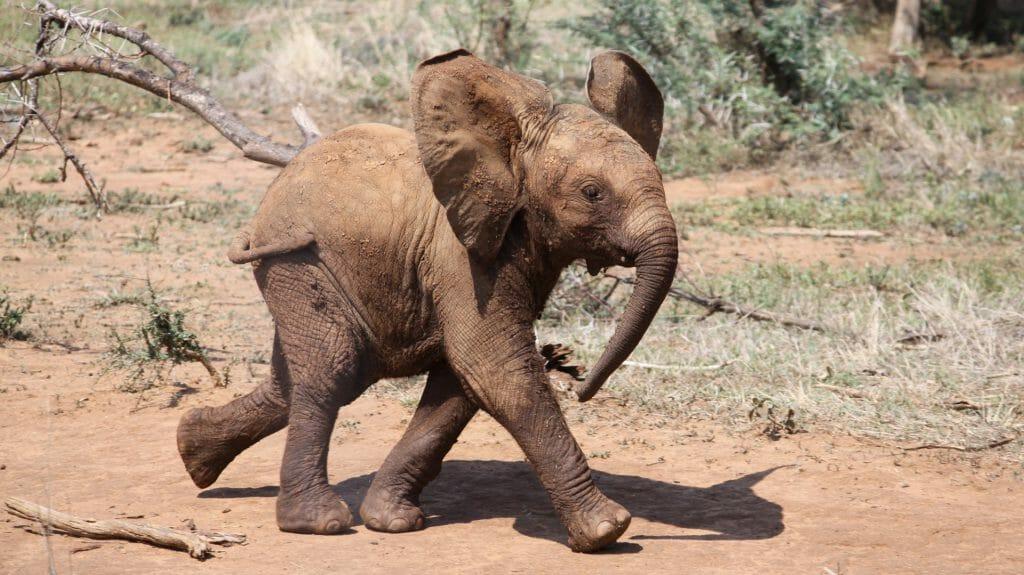 Baby elephant, Madikwe Game Reserve, South Africa