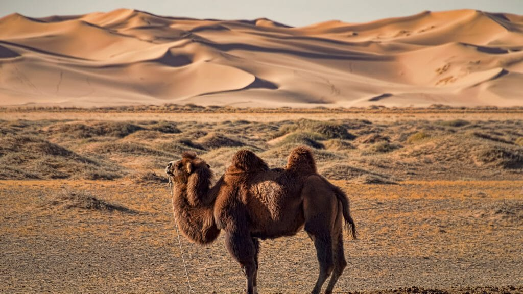 Desert view, Bactrian camel in foreground with rolling dunes behind, Mongolia