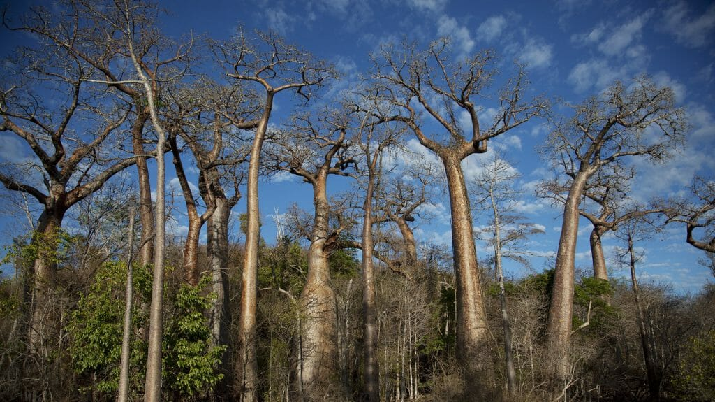 Baobab trees, Anjajavy, Madagascar