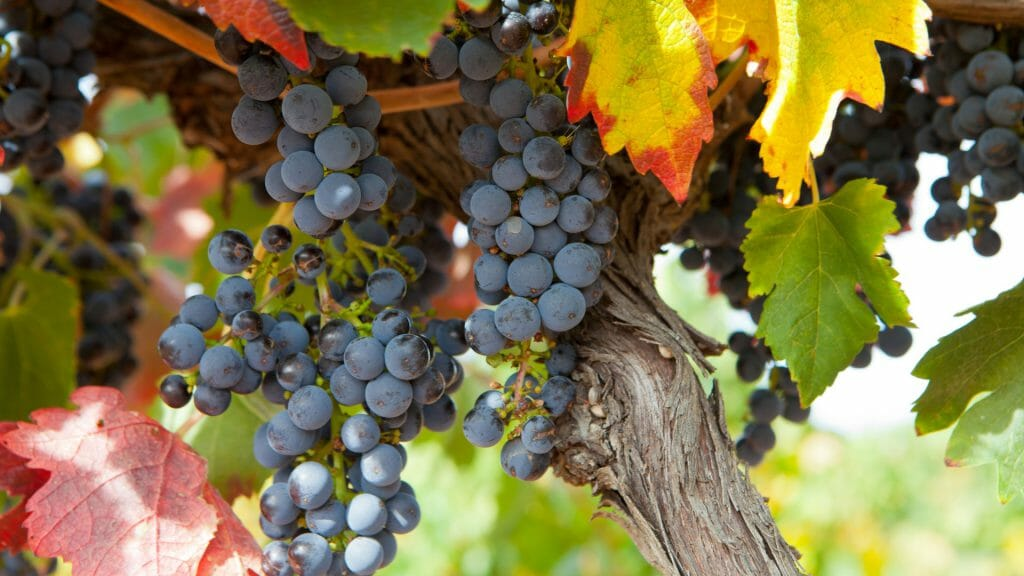 Close up of bunch of black grapes on vine.