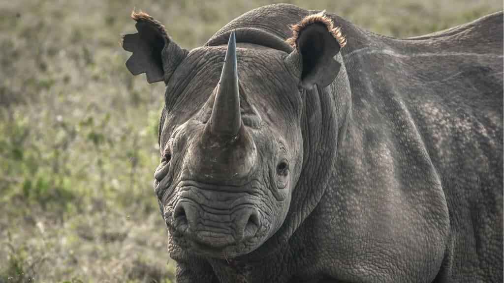 Black Rhino, North Luangwa, Zambia