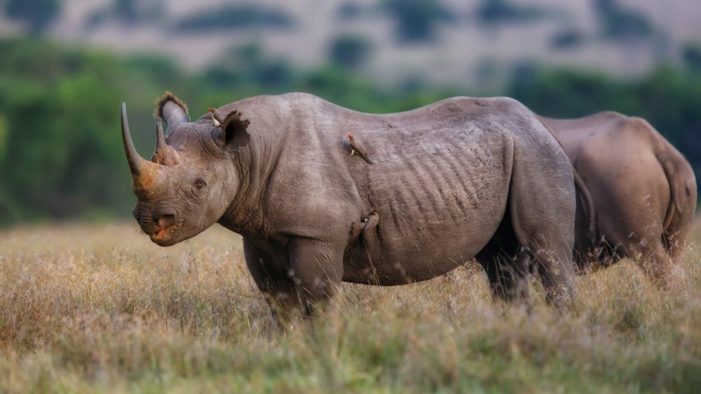 Black rhino, Laikipia, Kenya