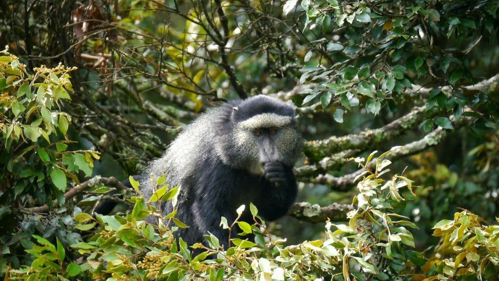 Blue monkey, Nyungwe Forest National Park, Rwanda