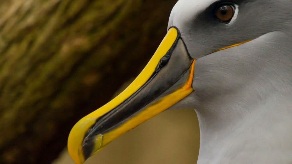 Bullers Albatross, New Zealand