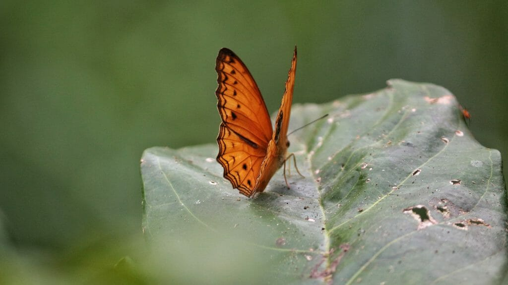 Butterfly, Langoue Bai, Ivindo National Park, Gabon