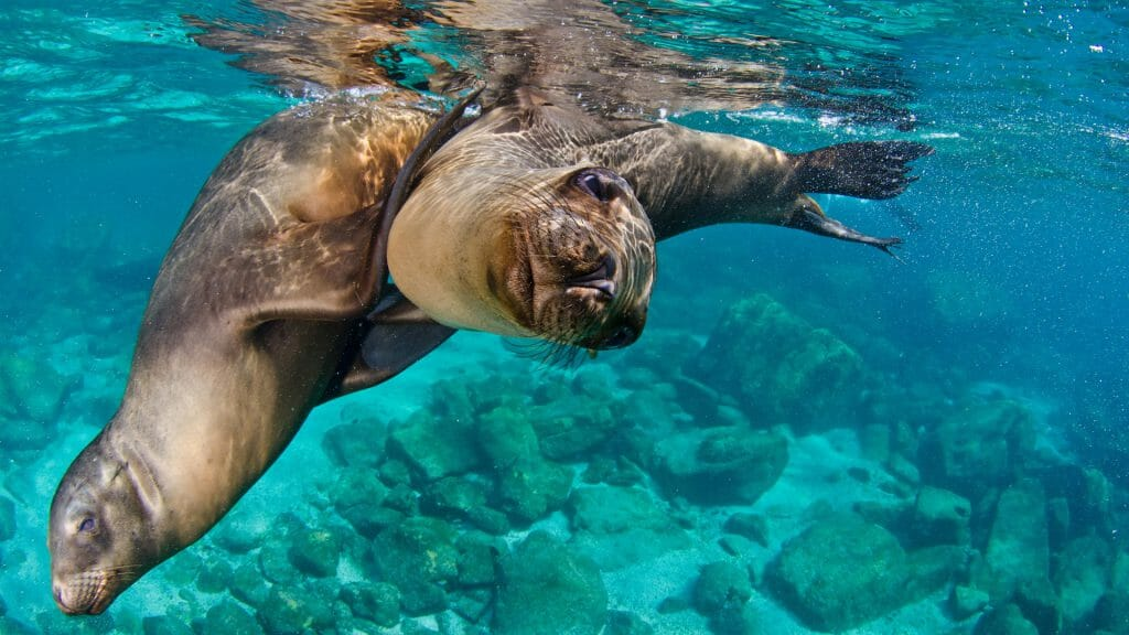 Snorkelling with sea lions