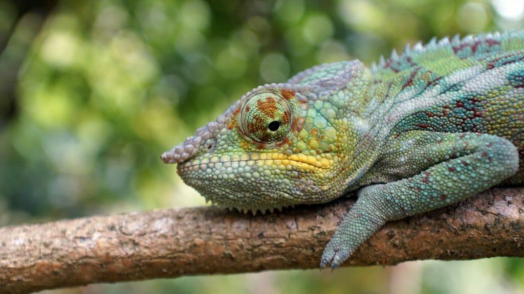 Chameleon in a tree, Andasibe Mantadia, Madagascar