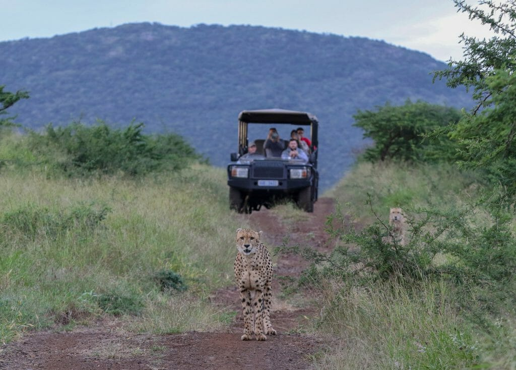 Cheetah in front of vehicle, KwaZulu Natal, South Africa