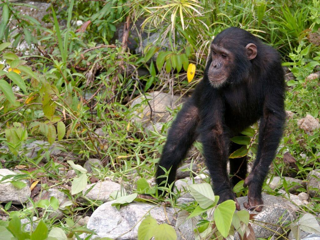 Chimp Calling | Will Burrard-Lucas