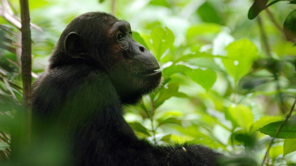 Chimpanzee, Mahale National Park, Tanzania
