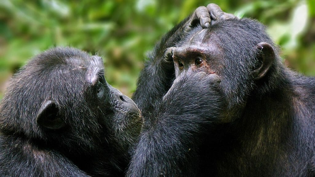 Chimps grooming, Kibale, Uganda
