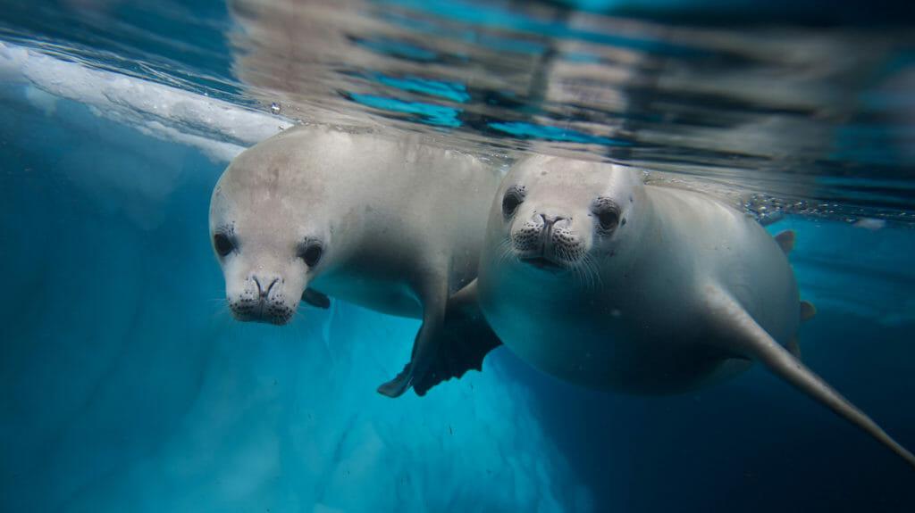 Crabeater Seals, Antartica