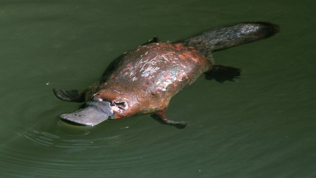 Duck Billed Platypus, Eungella National Park, Queensland, Australia