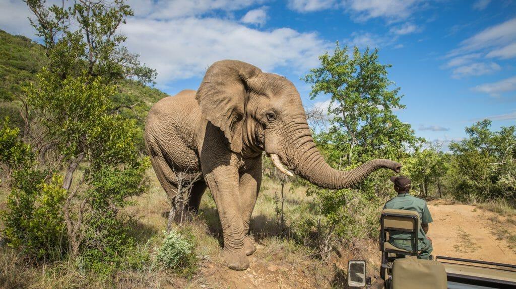 Elephant on safari, Kruger National Park, South Africa