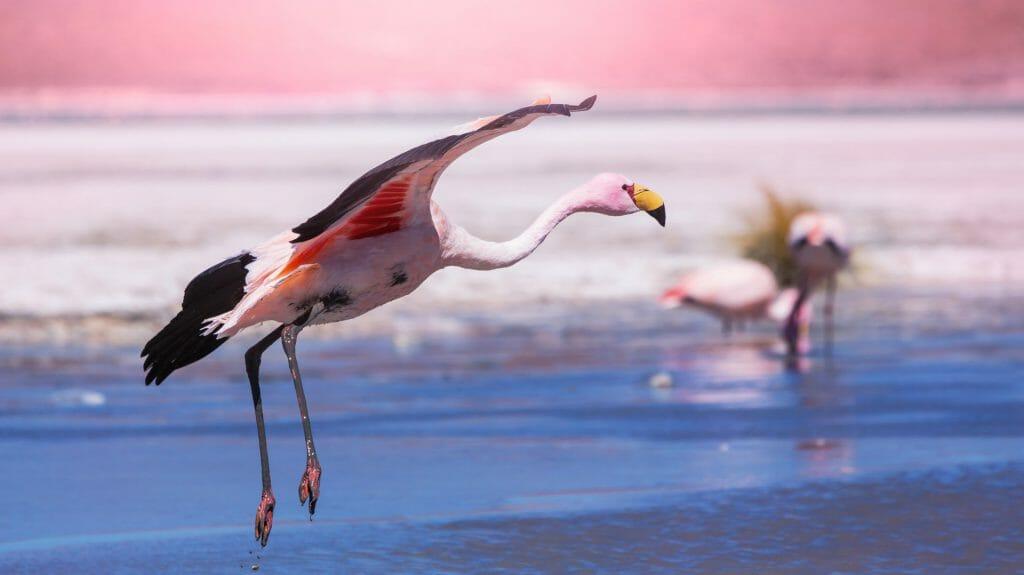 Flamingo, Salar de Uyuni, Bolivia